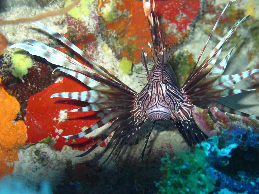 A closeup of a lionfish.