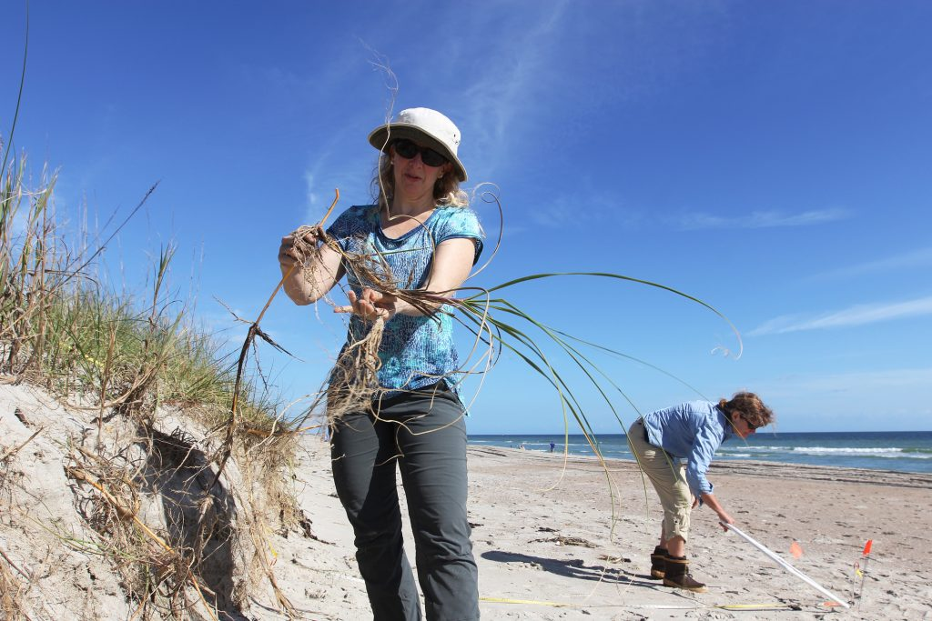 There are many different types of dune grasses. Here, Laura Moore inspects some sea oats (scientific name uniola paniculata), commonly found on beaches in the southeastern United States. (photo by Mary Lide Parker)