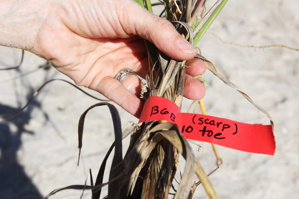 "Researchers tag grasses from different parts of the dune. This sample is from the ""toe,"" referring to the base of the dune on the beach. (photo by Mary Lide Parker)"