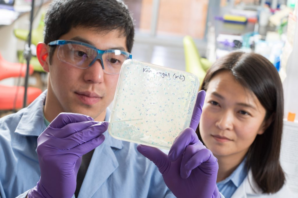 Chemistry graduate student Andrew Chan (with Bo Li) uses a blue-white screen to isolate mutant bacteria deficient in making an antibiotic. This method helps determine the bacterial genes involved in the synthesis of the antibiotic, so these genes can be used to guide the discovery of new antibiotics. (photo by Steve Exum)