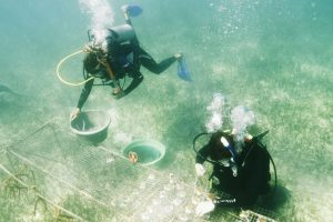 An underwater shot of two scuba divers attaching sections of coral reefs onto underwater tables to monitor their growth.