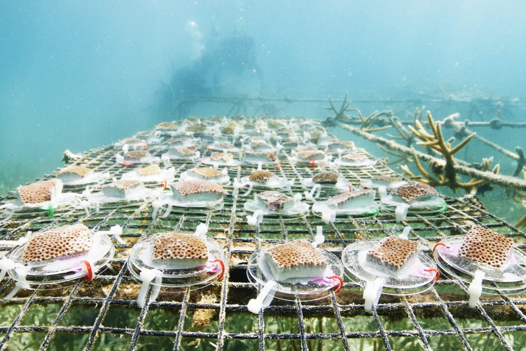 Over the course of six days, Justin Baumann and his team collected 12 colonies of coral, cut them into 312 pieces, and then transplanted them onto underwater tables. Baumann will spend the next year monitoring their growth. (photo by Mary Lide Parker)